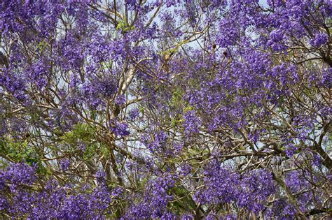 purple jacaranda tree background image www