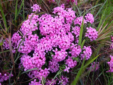 cing dei fiori liguria cneorum