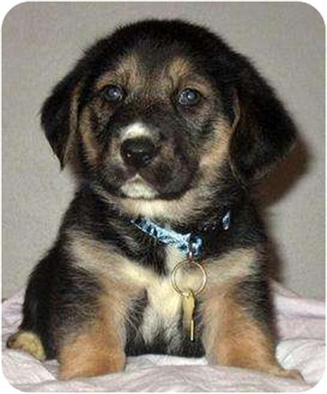 puppies for adoption in pittsburgh pa carreen adopted puppy 1784 pittsburgh pa basset hound siberian husky mix