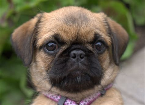 shih tzu or pug pug shih tzu mix dogable