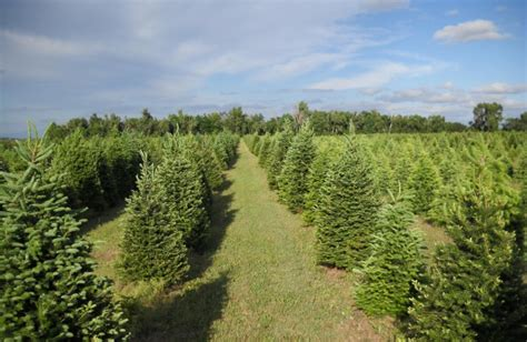 christmas tree farms in nebraska photo albums perfect