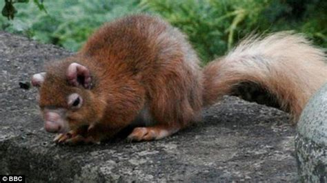 hair loss in squirrels the latest threat to red squirrels leprosy daily mail