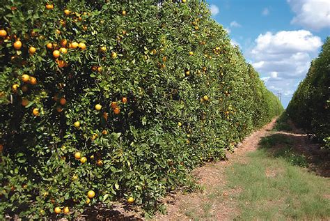 Southern Gardens Citrus by Growth Opportunities In Florida Agriculture Florida Trend