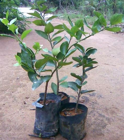 Benih Durian Musang King Untuk Dijual the tropical herbs plants nursery pengusaha pembekal
