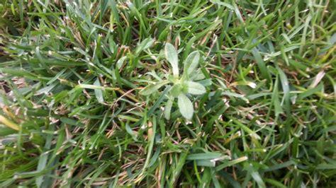 Unkraut Im Rasen Bekämpfen by Kriechendes Unkraut Im Rasen Hausgarten Net