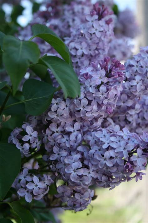 lilac flower meaning 188 best images about hold on my heart on pinterest