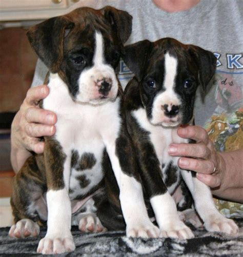 boxer puppies for sale missouri best 25 boxer puppies for sale ideas on boxer dogs for sale boxer pups