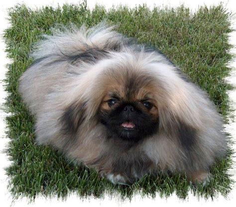pekingese poodle lifespan 469 best images about pekingese show style dogs
