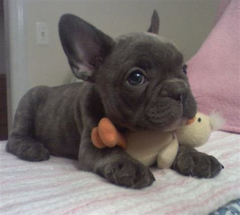 grey frenchie puppy best 25 teacup bulldogs ideas on bulldog pups frenchies