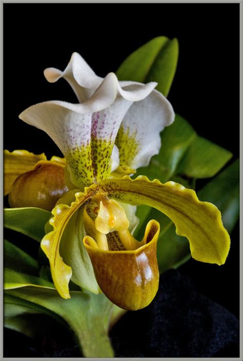 s slipper orchid a up view of a s slipper orchid