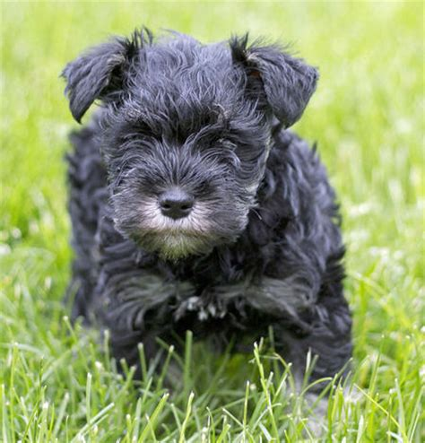 buttercup puppies buttercup the miniature schnauzer puppies daily puppy