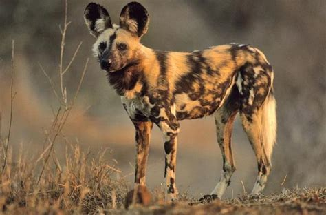 Bergsig Guest Farm African Wild Dog facts   all about the