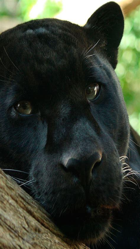 imagenes boinas negras fondos de panteras negras para whatsapp im 225 genes wallpappers