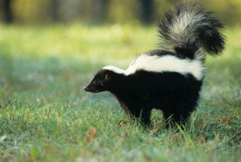 skunk the life of animals