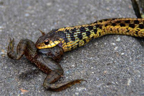 Garter Snake Frog Virginia Living Museum Garter Snake Eats Frog