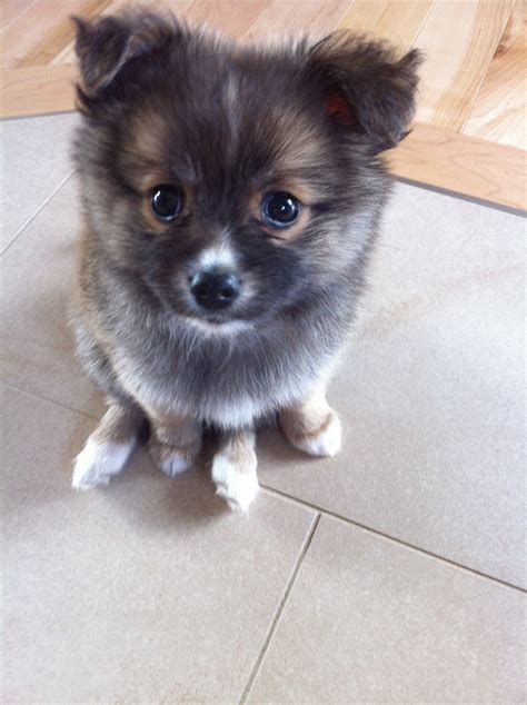 pomchi puppy had a like this back at home in cali he