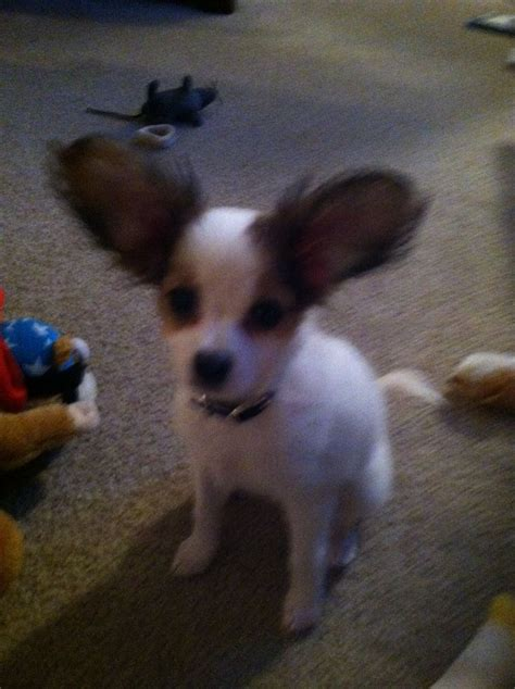 chihuahua mix puppies 1000 images about papillon chihuahua mix on papillons papillon puppies