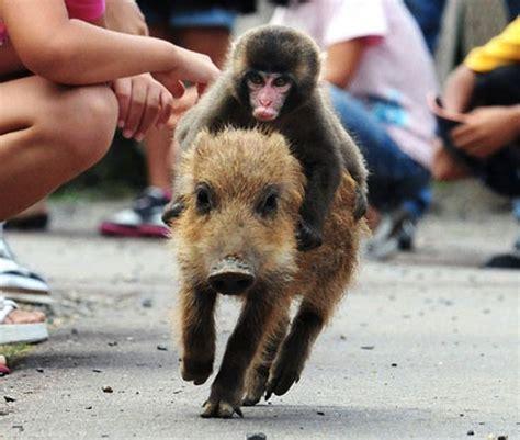new year monkey and pig baby monkey rides a pig backwards