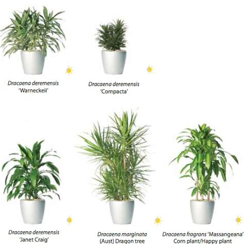 indoor plants nz rent dracaena and other plants from ambius