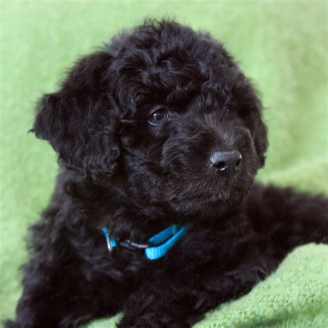 mini labradoodles island mini labradoodles f1b family friendly and only 15 30 lbs