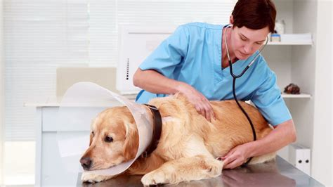 imagenes de medicas veterinarias labrador m 233 dico veterinario hd stock video 871 210