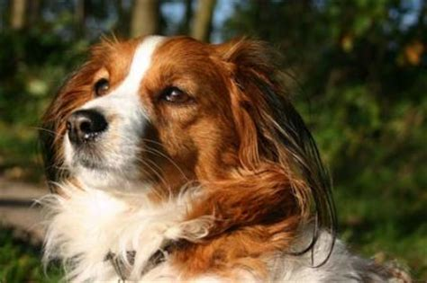 akc dogs akc breeds of dogs images