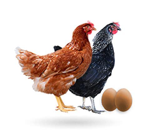 imagenes gallinas negras granja santa isabel