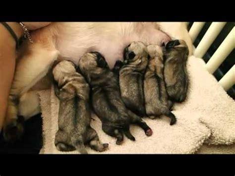 arvay pugs newborn pug puppies noisily nursing