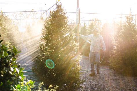 100 chesterfield christmas tree farm humbugs
