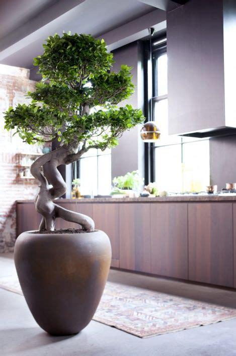 ficus microcarpa tree  meditation room bonsai