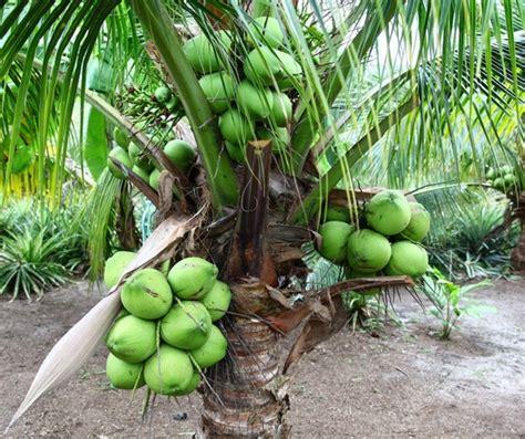 Bibit Kelapa Pandan Wangi tanaman kelapa pandan wangi thailand import bibitbunga