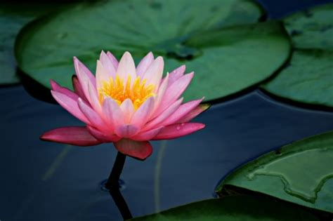 asian lotus flower flowers asian water lilies and lotus flowers
