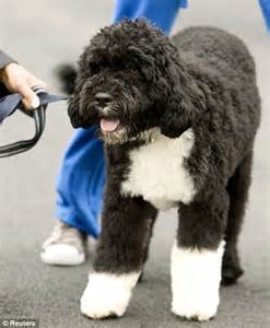 obama breed it s a s new pet bo gives barack obama the runaround on white house lawn