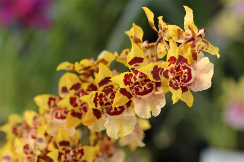 Schädlinge Bei Orchideen 2582 by Sch 228 Dlinge Bei Orchideen Orchideen Krankheiten Erkennen