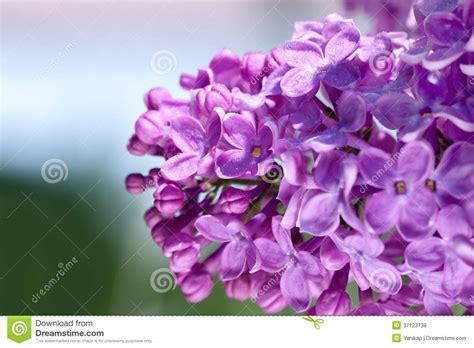 fotografie di fiori primavera fiori di un fiore lilla in primavera fotografia stock