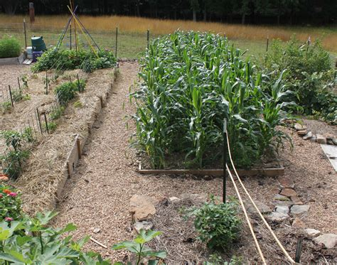 how to grow corn in your backyard growing corn in small spaces state by state gardening