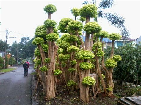 bonsai anting putri tukang taman