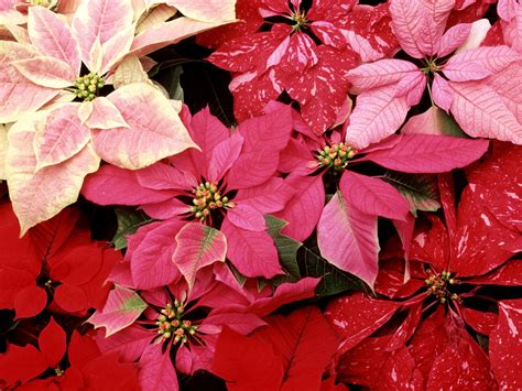 blooming poinsettias wallpapers hd wallpapers id 1495