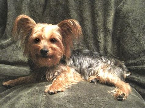 yorkie neutering from dc s web page