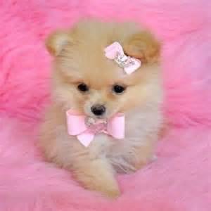 Small Dogs Free To Home Barnsley Pomeranians Pomeranian Puppy And Teacup Pomeranian On