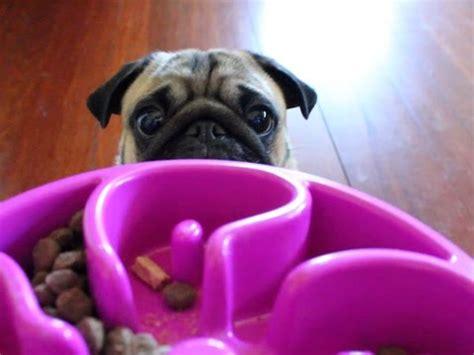 pug noises dogbuddy review slo bowl feeding bowl for dogs funnydog tv