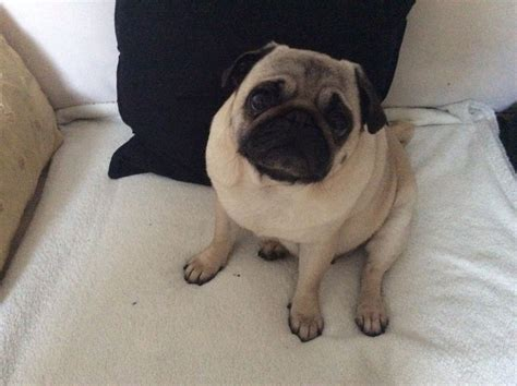 pug adults for sale pug for sale bristol bristol pets4homes