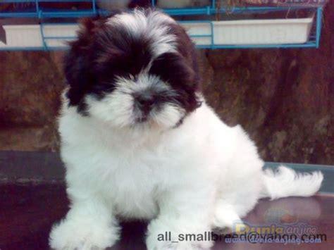 Pajangan Anjing Shin Tzu dunia anjing jual anjing shih tzu dijual anakan shihtzu menggemaskan