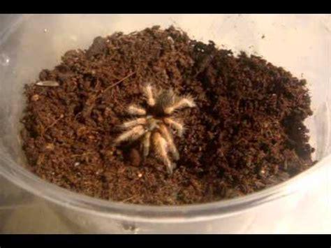 St Hey Stripe Salem tarantula feeding 8