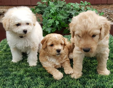goldendoodle puppies san diego goldendoodle san diego home