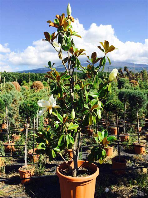magnolia in vaso magnolia grandiflora cespuglio vendita