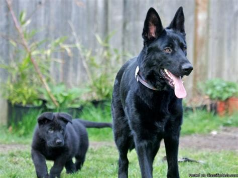 german shepherd puppies for sale in washington state gorgeous purebred black german shepherd puppies price 500 for sale in lynnwood