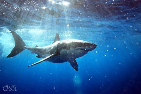 great white shark dive great white shark dive guadalupe island mexico sol