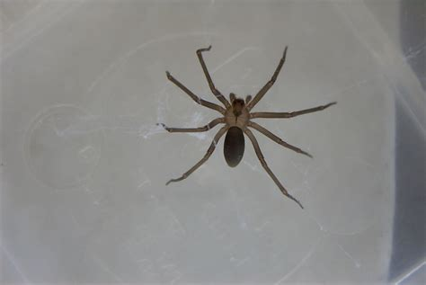 brown recluse image brown recluse spider images www imgkid the image