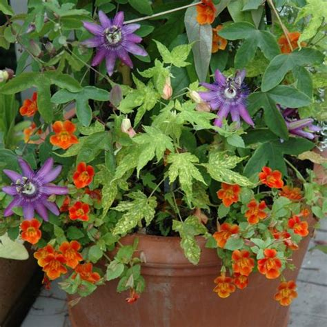 Fabulous Flowering Vine Ideas For Your Containers Container Flower Gardens
